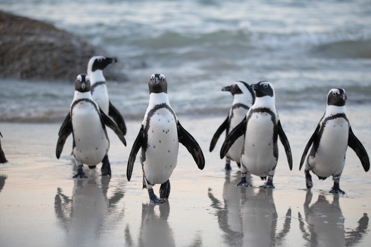 penguins running towards camera